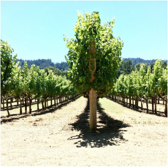 Duckhorn vineyard, Napa
